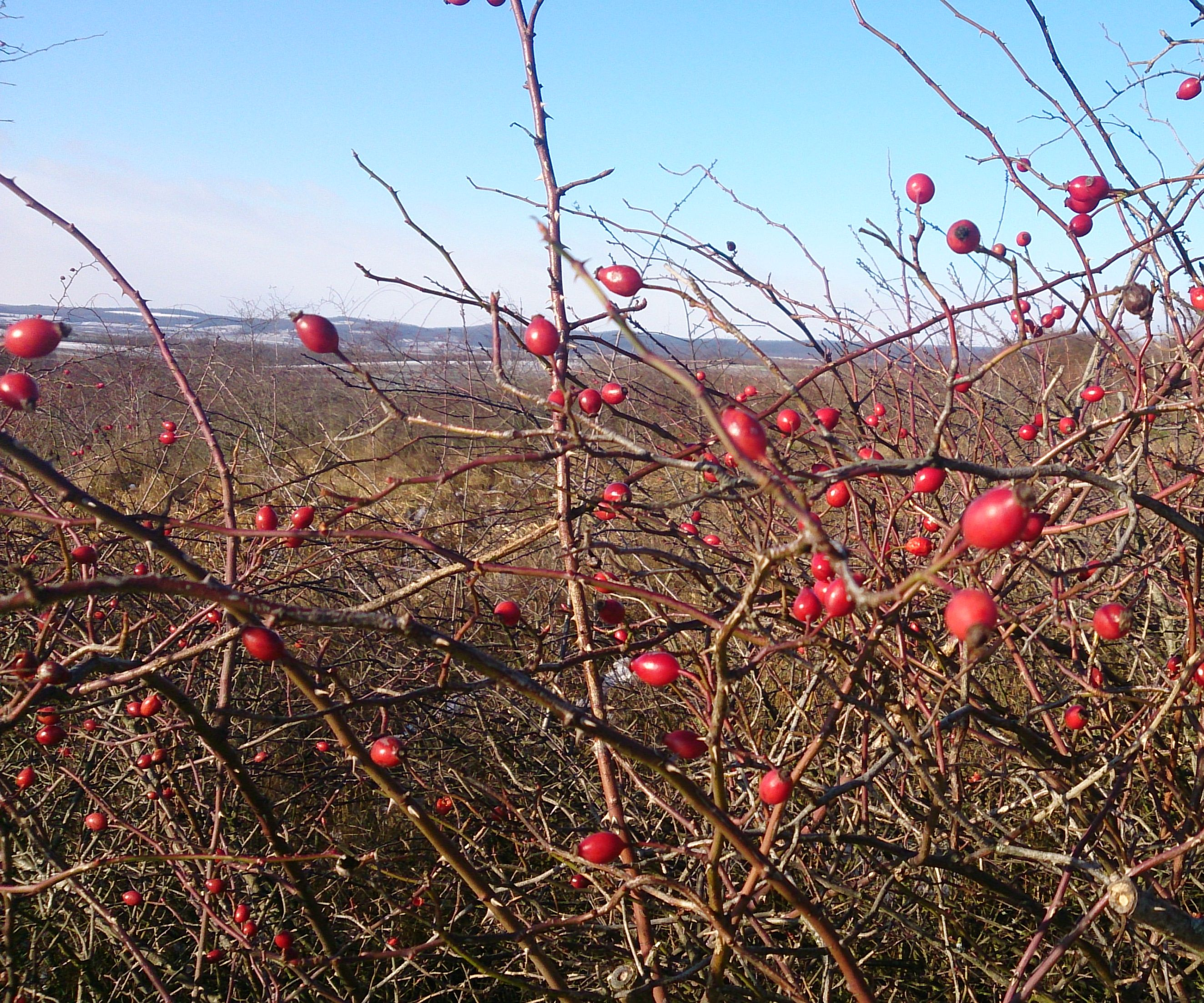 How to eat a rose hip
