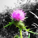 A Norfolk Thistle