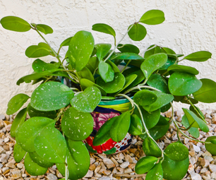 How to Care for a Hoya Houseplant