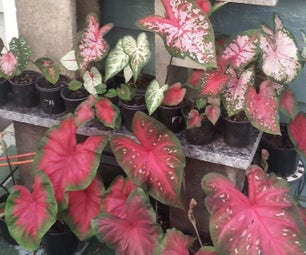 Hybridizing Caladiums -(making Caladium Babies)