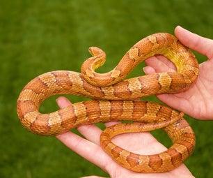 Handling Corn Snakes.