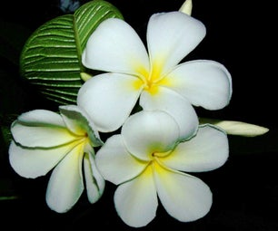 Plumeria Plants, Terms and Definitions for Plumerias and Other Tropical Plants, Part One
