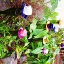 Very Merry Unbirthday Tea Cup Daffodils