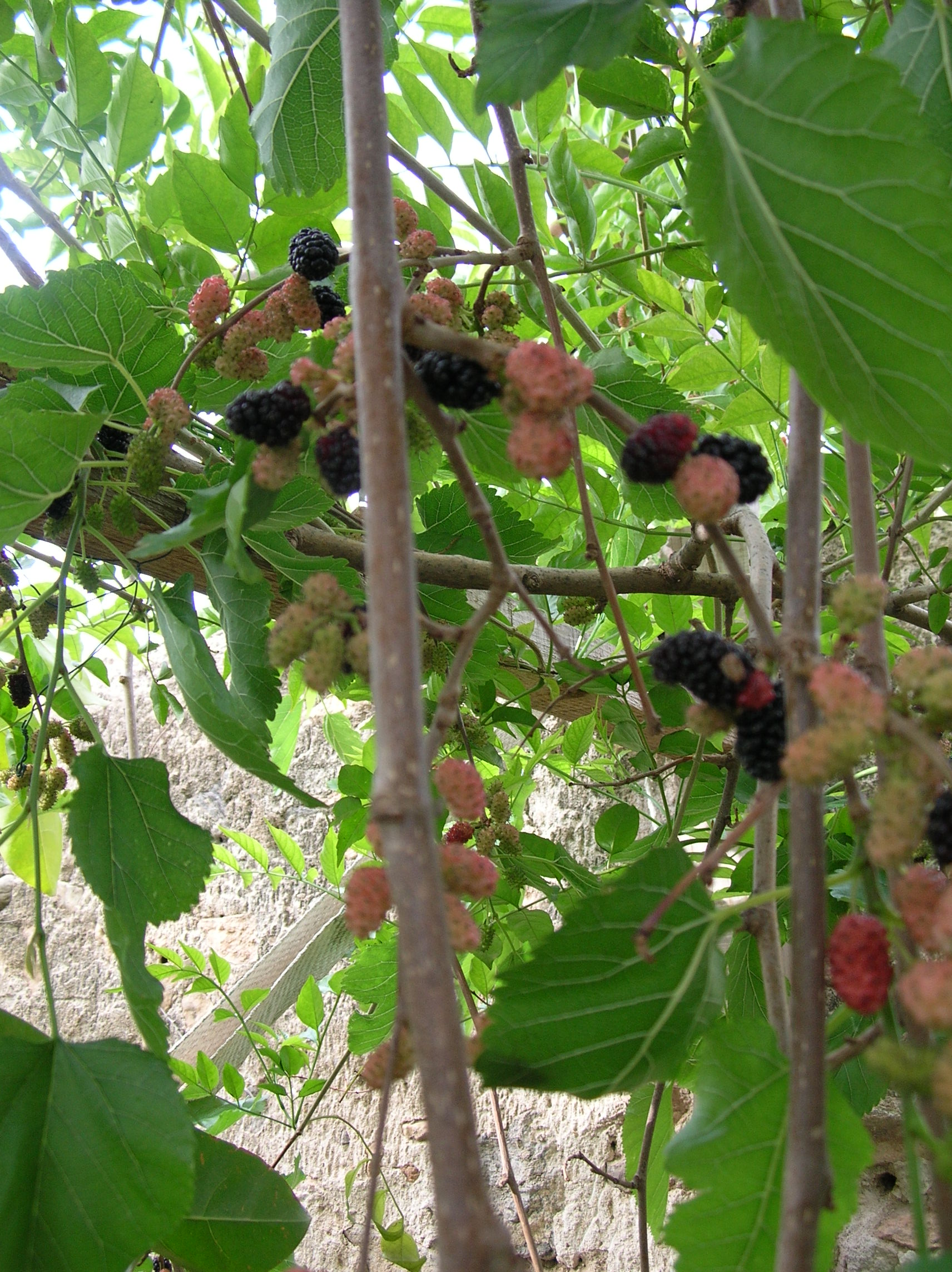 My Mulberry's Cordial