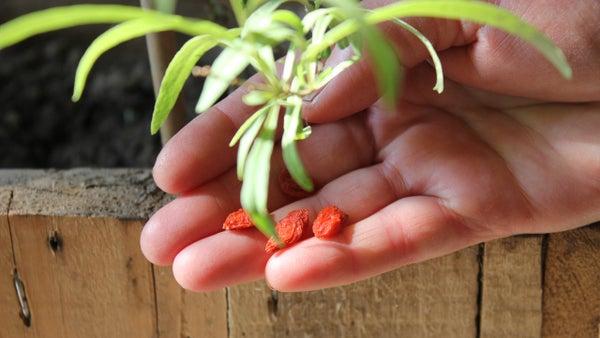Growing Organic Goji From Seed. Faire Pousser Les Graines De Goji Bio. Como Crecer Goji Organico.