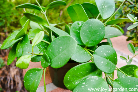 How to Feed a Hoya Plant: