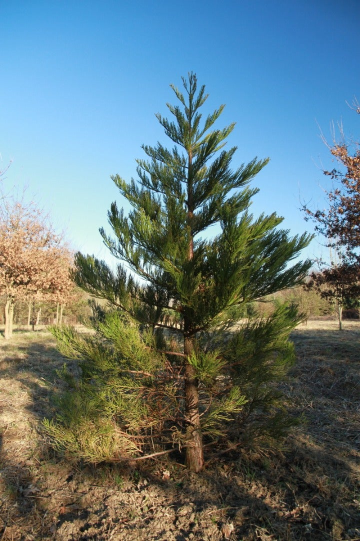 Transplant Your Sequoias Outside