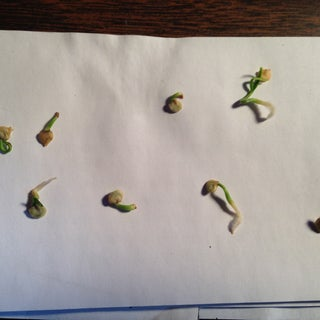 Sprout Seeds Overnight...with Scarification!