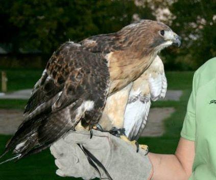 Wild Raptors - Bird Handling