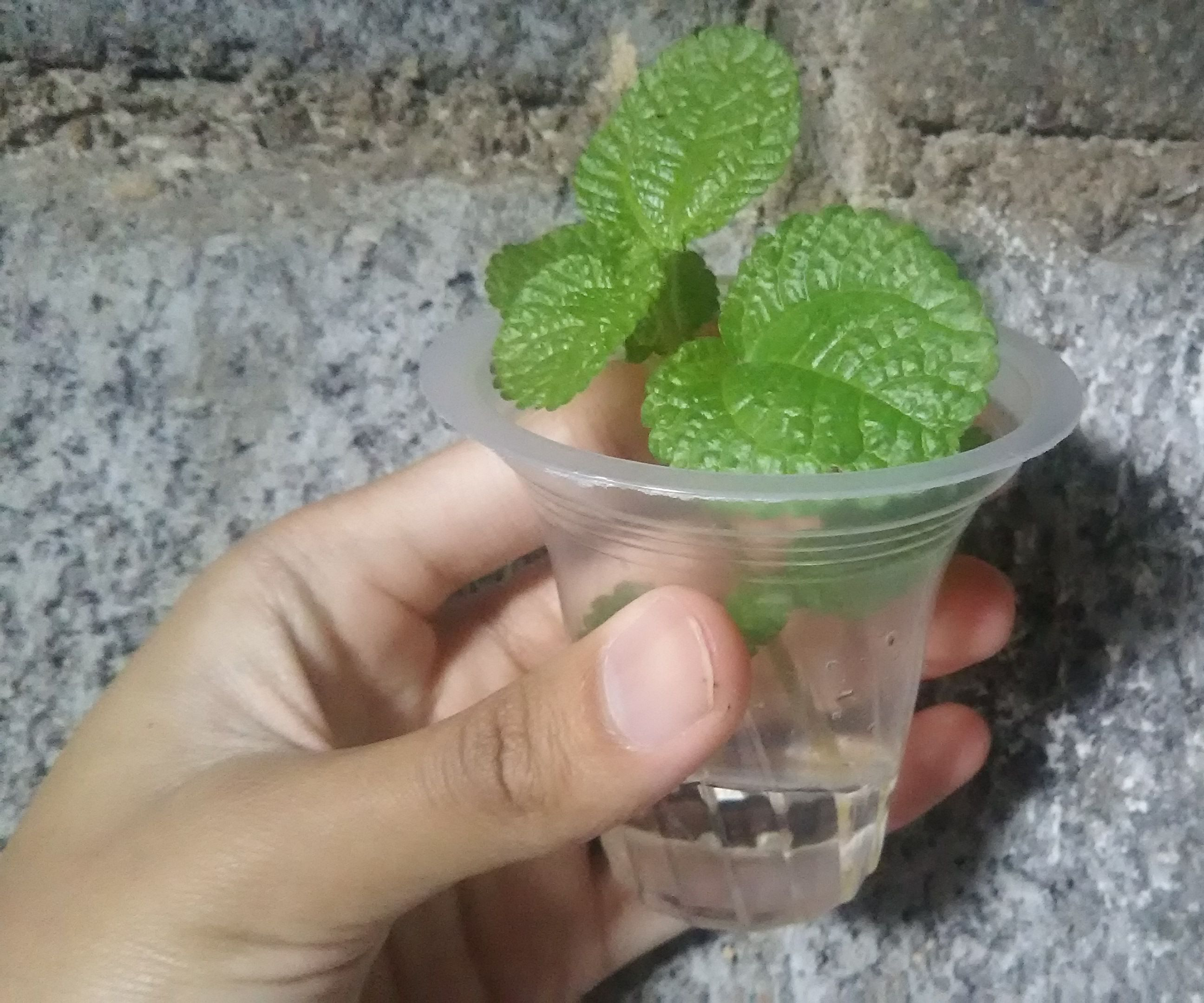 How to Water Propagate Pilea Creeping Charlie (Pilea Nummulariifolia)