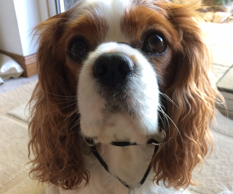 DIY dog halter/ head collar
