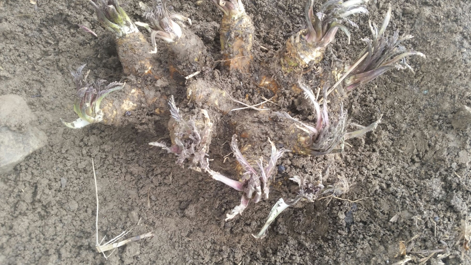 Digging Out the Horseradish