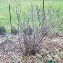 Bury a Fig Tree