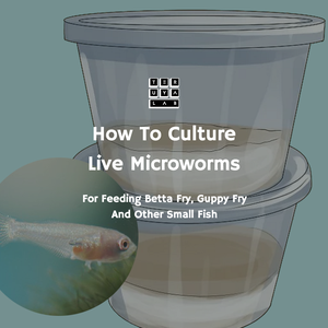 How to Culture Live Microworms for Fry and Small Fish