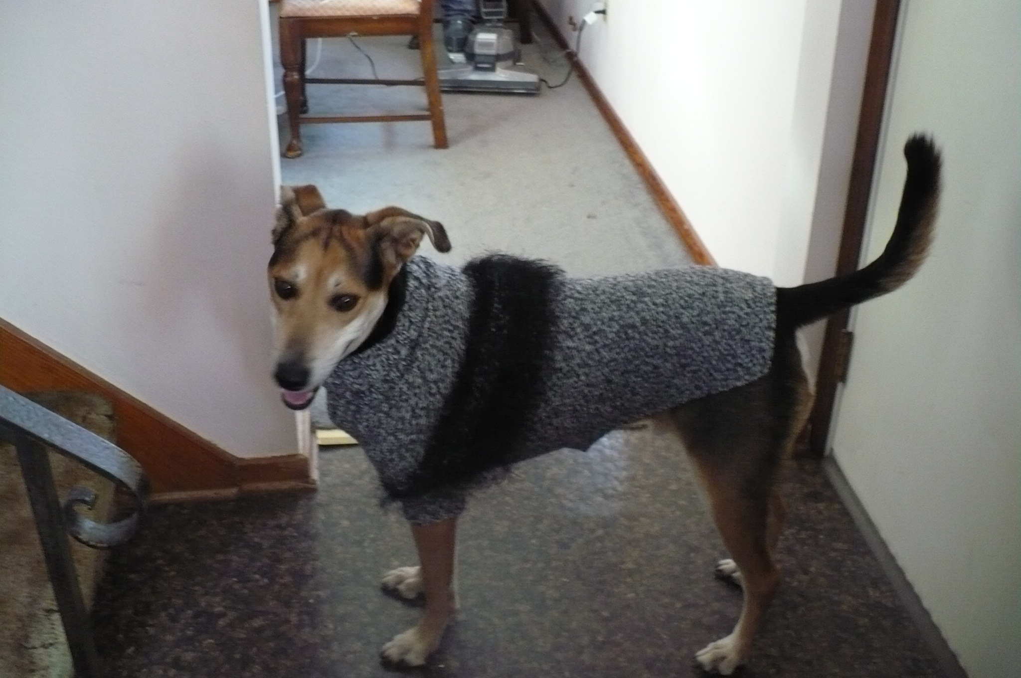 Steve the dog and his sweater