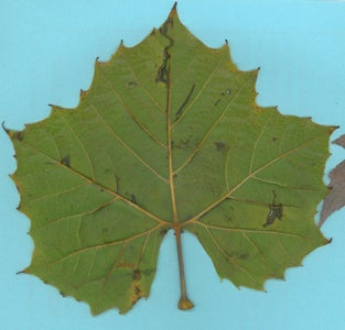 Capture Essence of Leaf With a Fractal