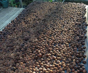 Black Walnut Harvesting & Processing