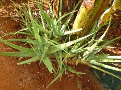 Harvest Aloevera