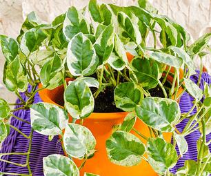 Houseplant Repotting: Pothos (Epipremnum Aureum)