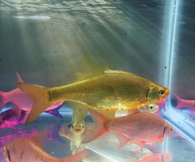 Dye Live Bait Fish