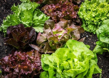 Growing Red Lettuce: