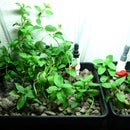 Ebb and Flow Aquaponics for the Office
