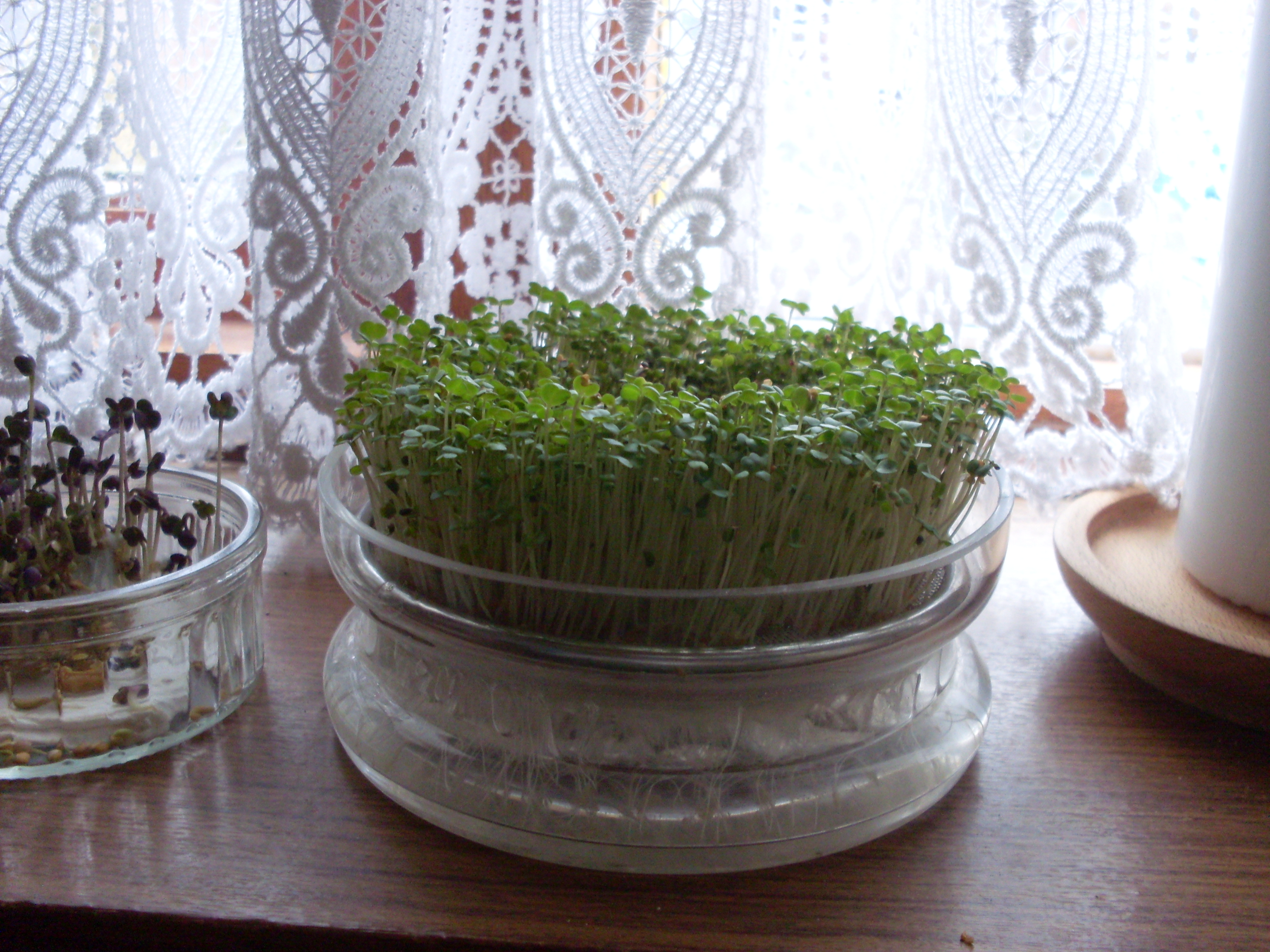 Growing your own sprouts (shoots) the cheap way