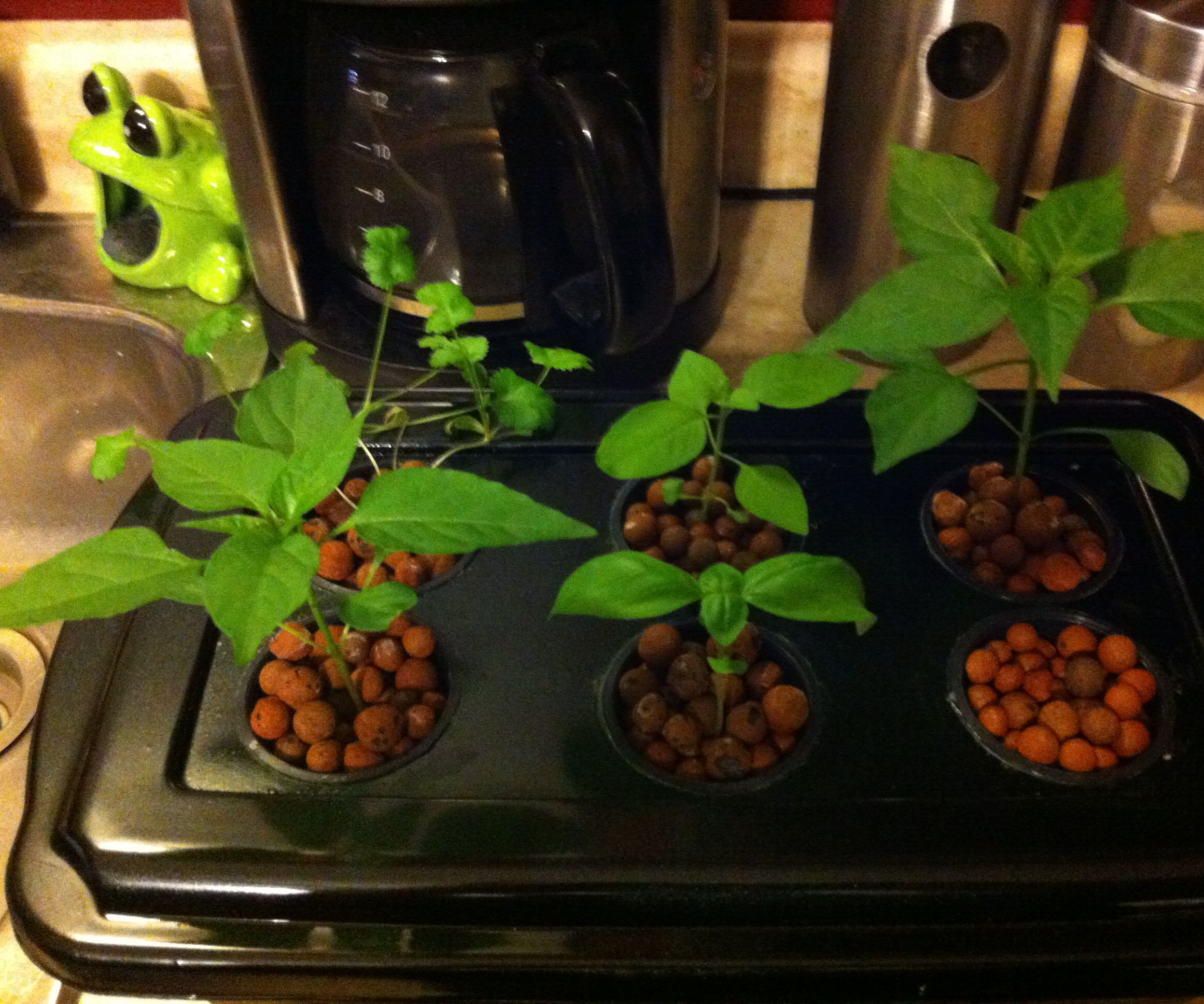 Cheap and Easy Hydroponic Herb Garden