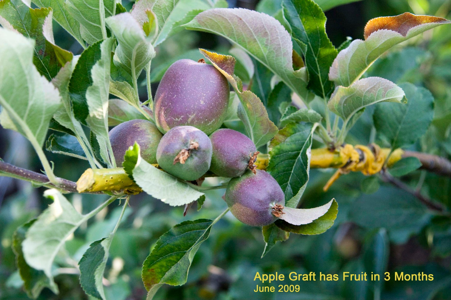 Example: Apple Graft