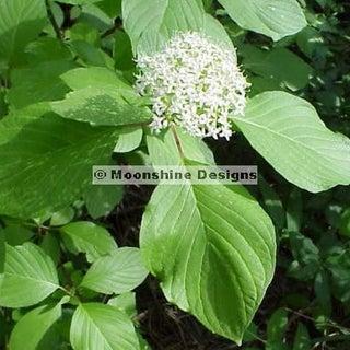 ozierflower.jpg