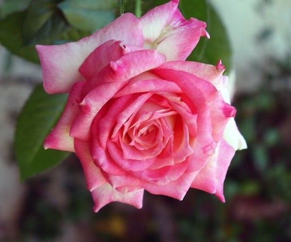 The Annual Winter or Spring Pruning of a Hybrid Tea Rose