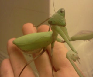 Keeping a Praying Mantis As a Pet