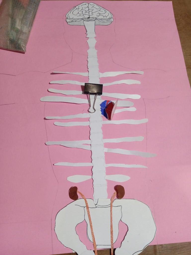 Layer 6 : Kidney(s)