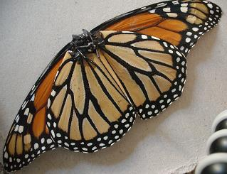 Monarch Butterfly Walkalong Glider