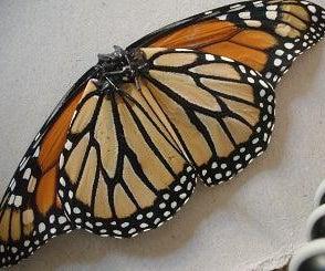Monarch Butterfly Walkalong Glider