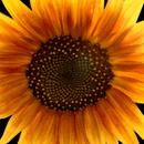 sunFlow3r