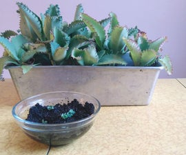 Starting Succulents in Coffee Grounds