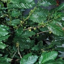 DIY Coffee Harvest