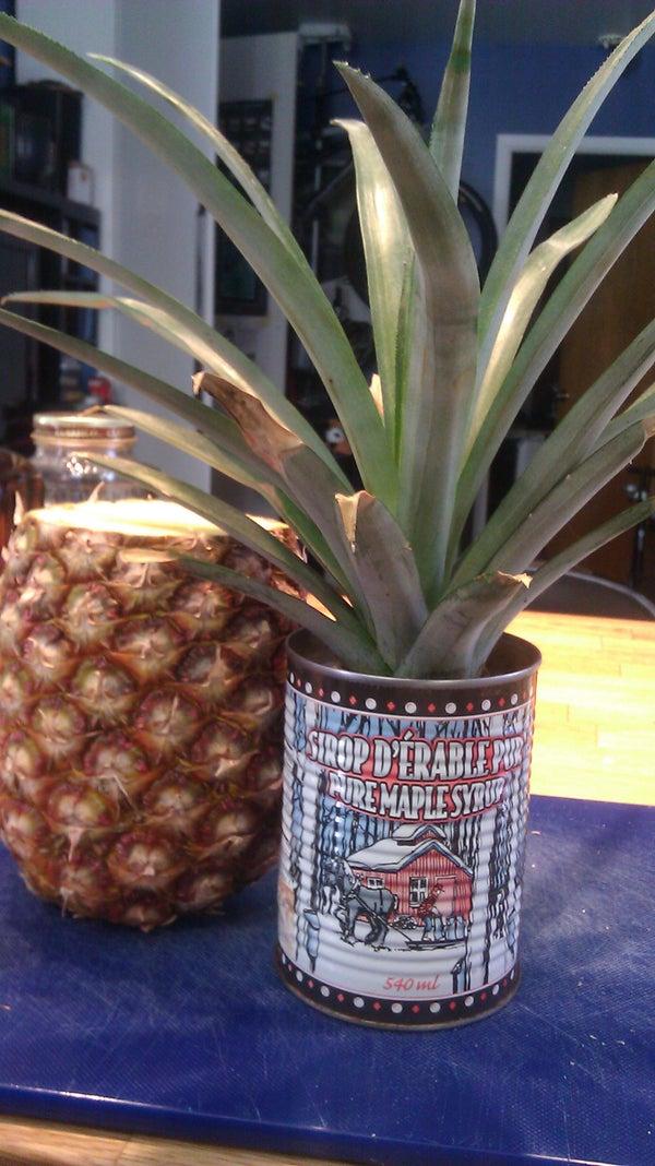 Start an Ananas Plant