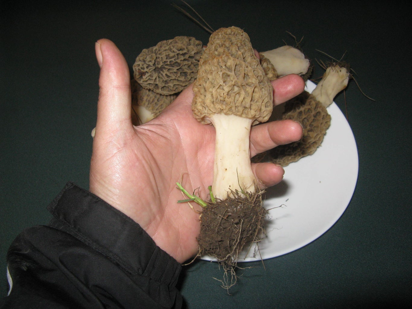 Collecting Morels