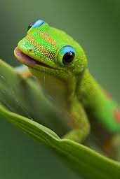 How to Tame and Hand-Feed Geckos!