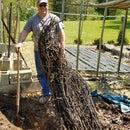 Un-Bury a Fig Tree
