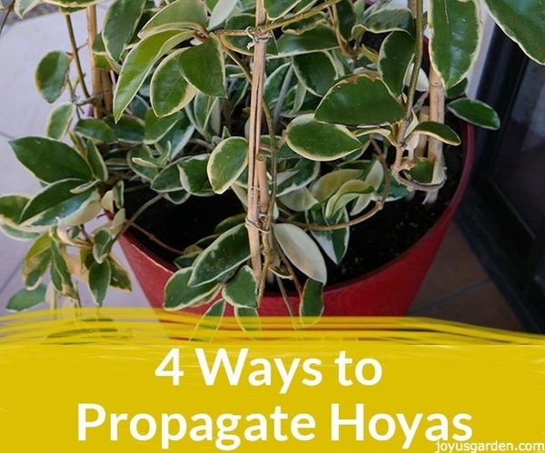 4 Ways to Propagate Hoyas