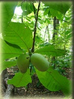 The Uses of the Paw Paw Plant