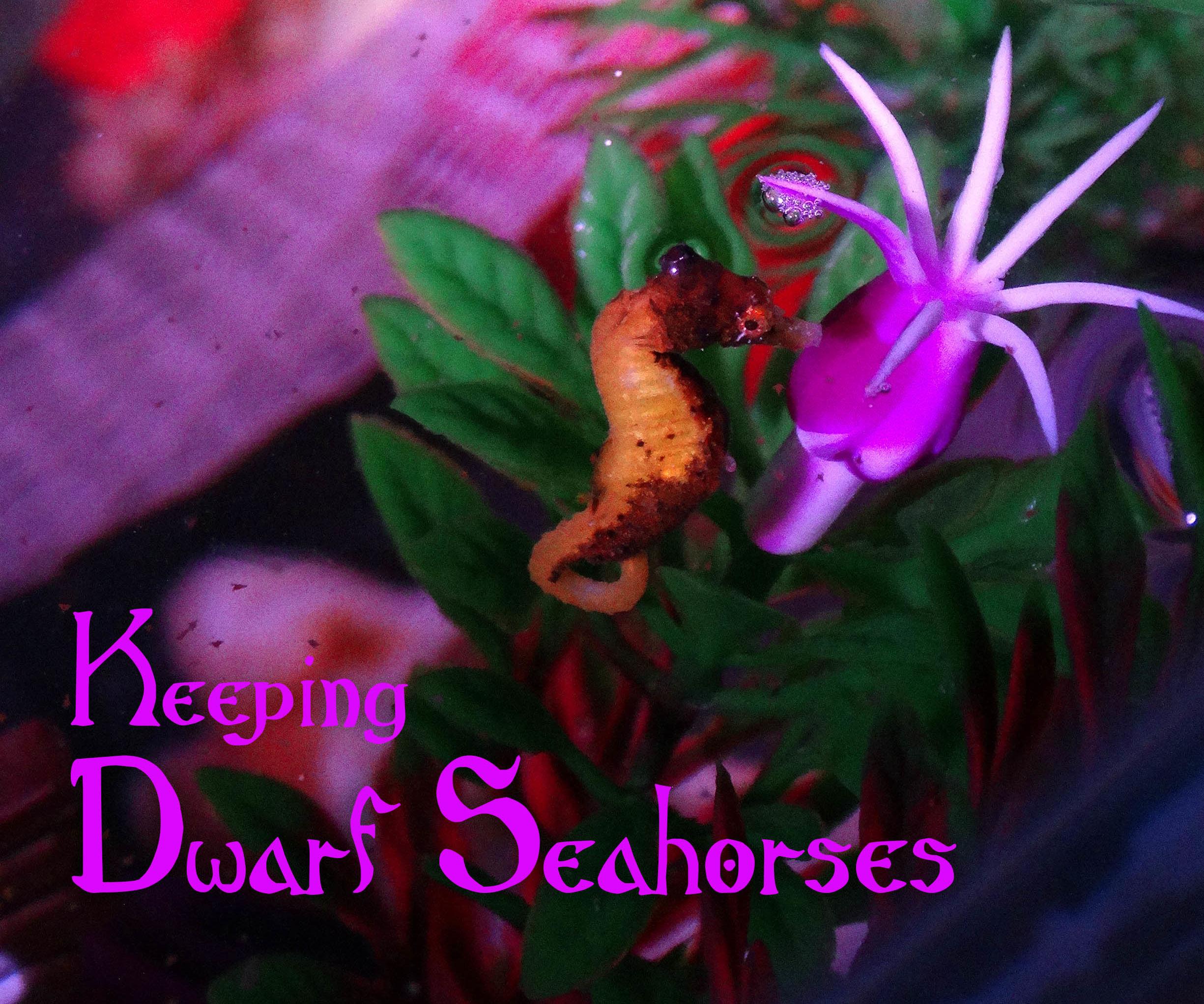 Keeping Dwarf Seahorses