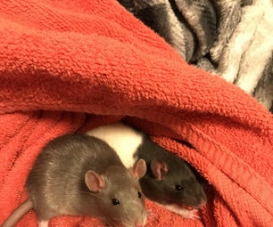 How to Set Up a Rat Cage, and Care for Them!