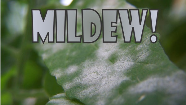 ELIMINATE Powdery Mildew