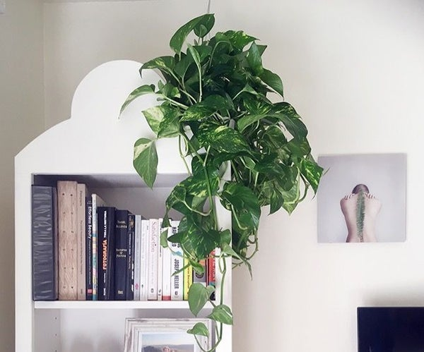 New to Gardening? 11 Reasons Why Pothos Is the Houseplant for You