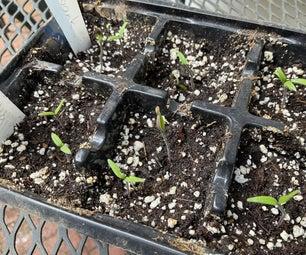 从种子种植西红柿