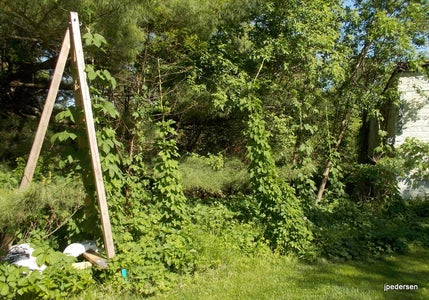 The Original Trellis and How the Hops Grow on It.